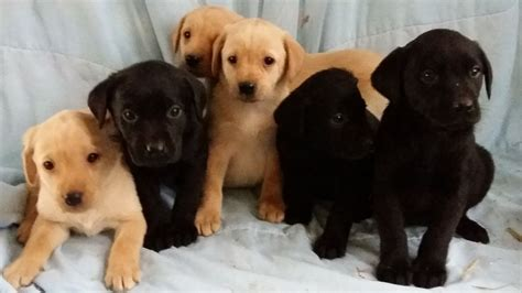 black and yellow labrador puppies   Grantham, Lincolnshire
